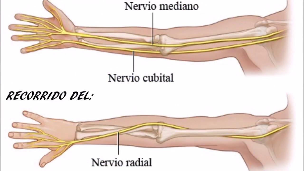 Aprende todo sobre el Nervio musculocutáneo, definición, función y mas