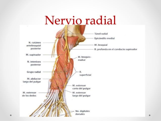 Nervio radial: ¿qué es?, función, anatomía, lesiones y más