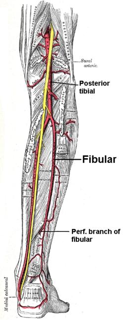 Nervio Tibial: ¿Qué es? Disfunción, lesiones y mucho más sobre este tema