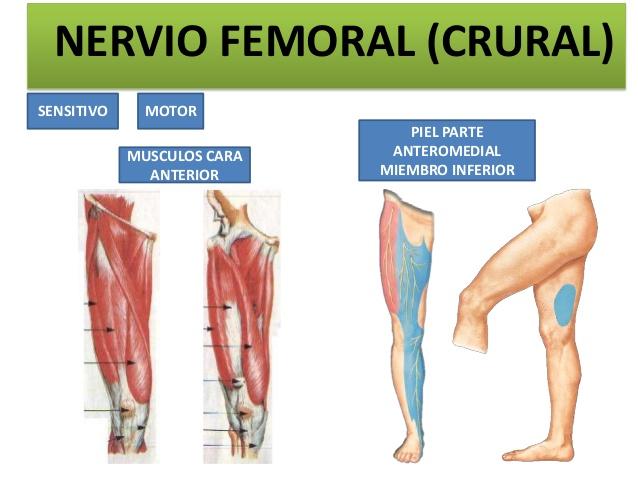 Nervio femoral: ¿Qué es? Función, anatomía, lesiones y más.