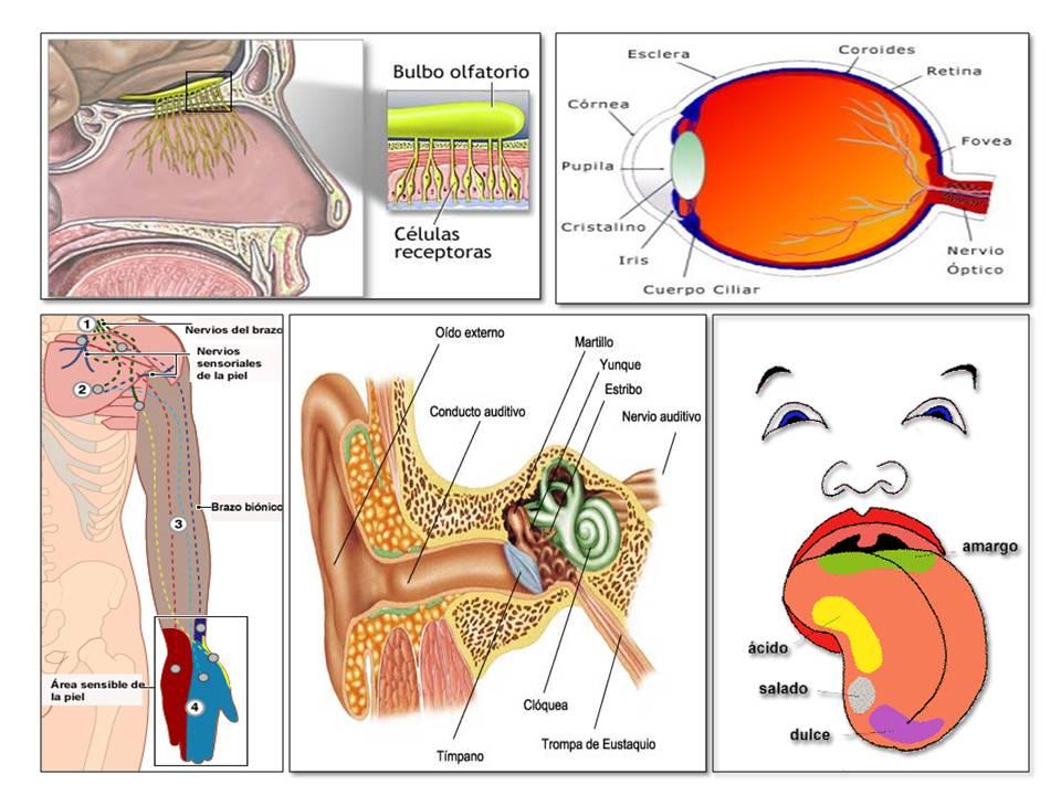 Órganos Sensoriales: definición, ¿Cuáles son?, funciones, tipos y más
