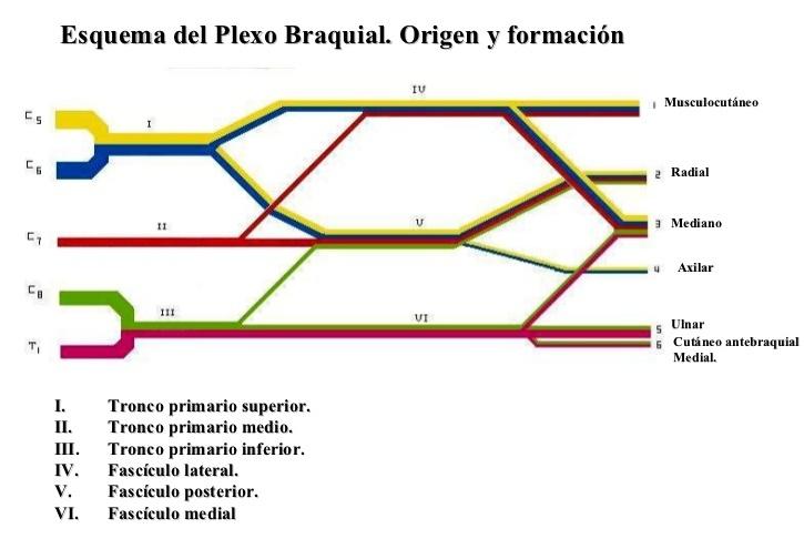 Plexo braquial: definición, anatomía, función, origen, ramas y más