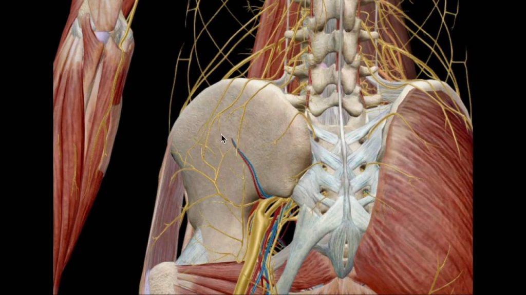 Plexo lumbar: ¿qué es?, función, anatomía, nervios, bloqueos y más
