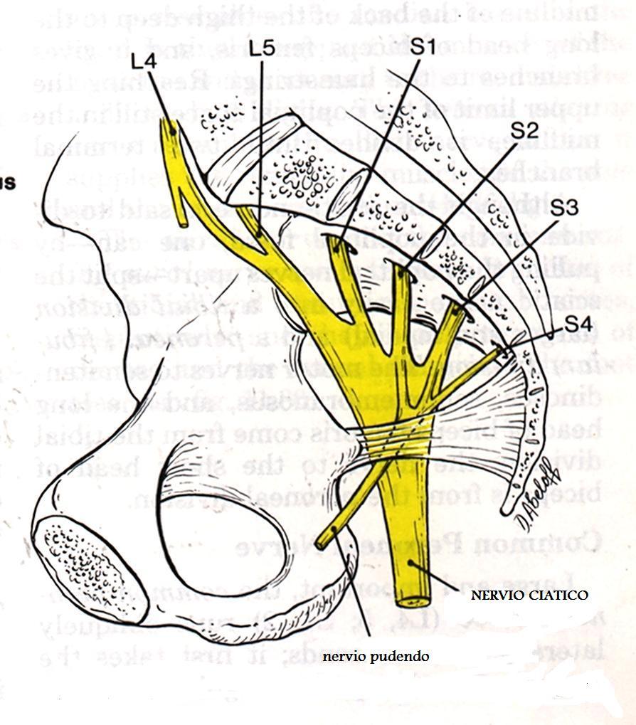 Plexo sacro: ¿qué es? Función, anatomía y más que debes saber.