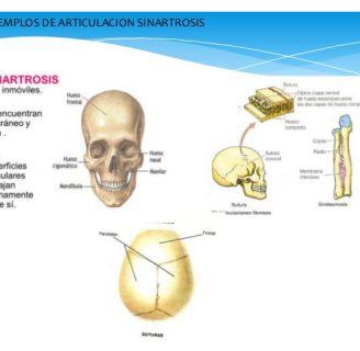Sinartrosis: definición, características, tipos y mucho más