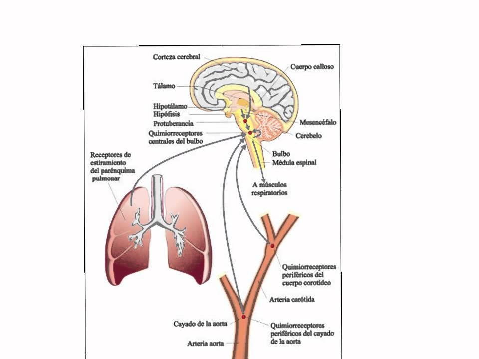 sistema activador reticular ascendente