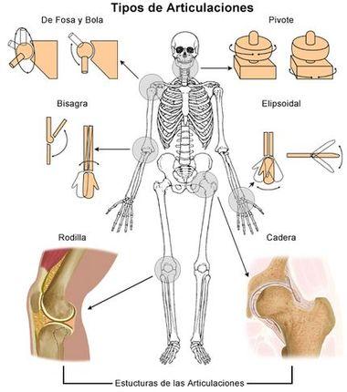 Sistema articular: ¿qué es? Funciones, anatomía, fisiología ...