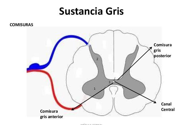 Sustancia gris: definición, función, enfermedades y más