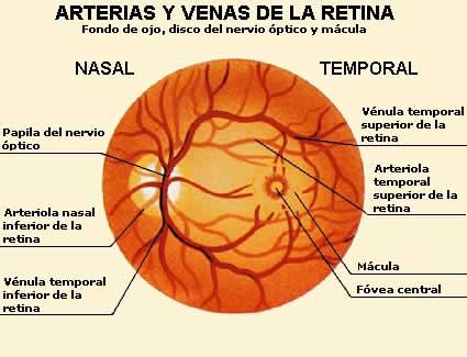 Vasos sanguíneos: ¿Qué son? Características, anatomía y mucho más