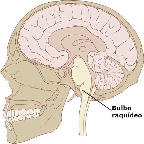ver-Sistema Nervioso Central-10