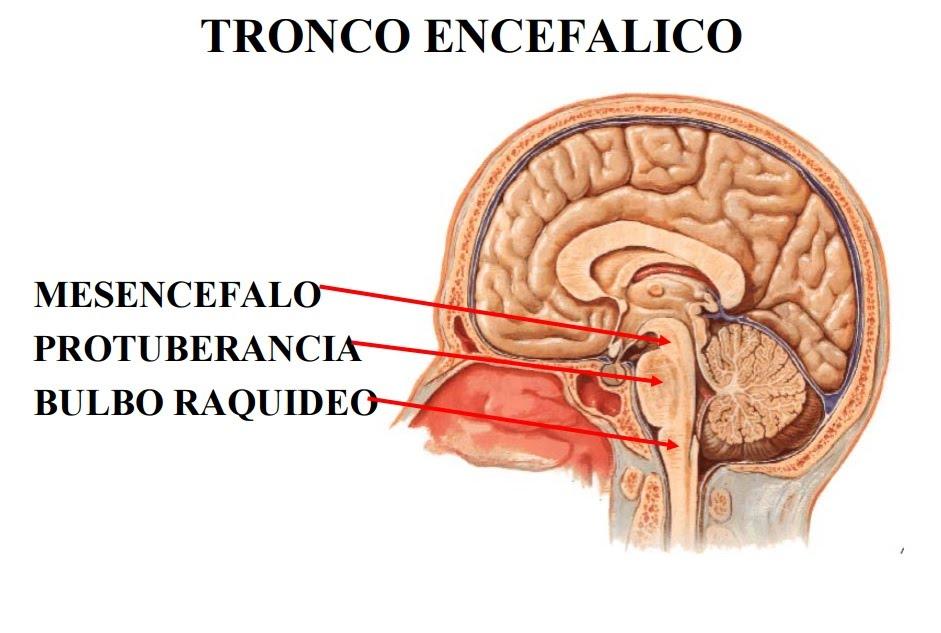 ver-Sistema Nervioso Central-15