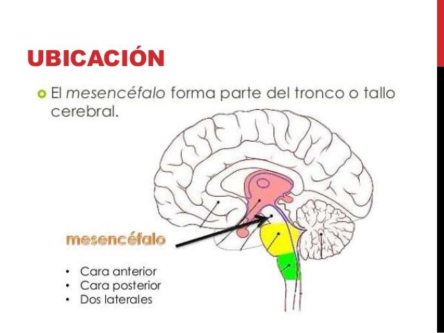 ver-Sistema Nervioso Central-18