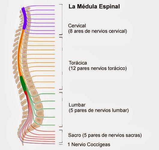 ver-Sistema Nervioso Central-19