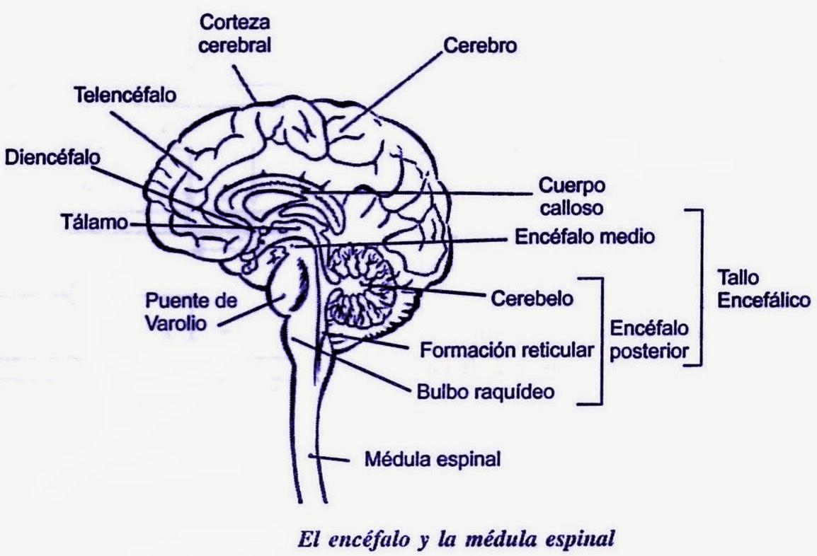 ver-Sistema Nervioso Central-24