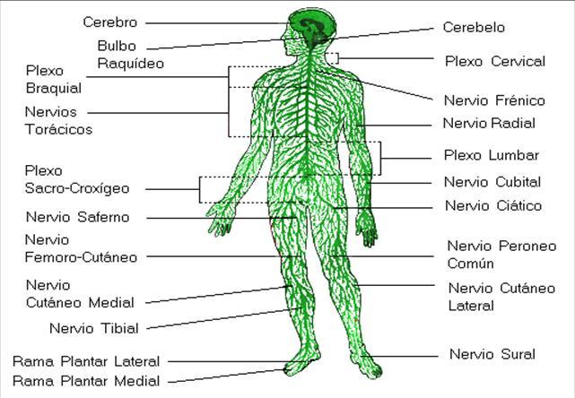 ver-Sistema Nervioso Central-26