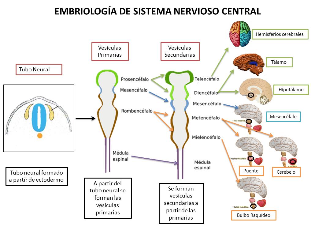 ver-Sistema Nervioso Central-29