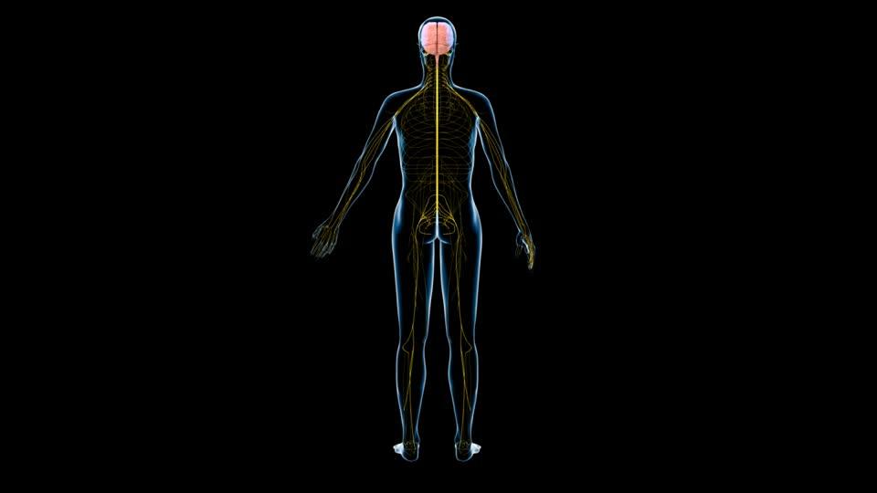 ver-Sistema Nervioso Central-3