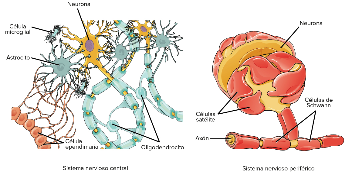 ver-Sistema Nervioso Central-30