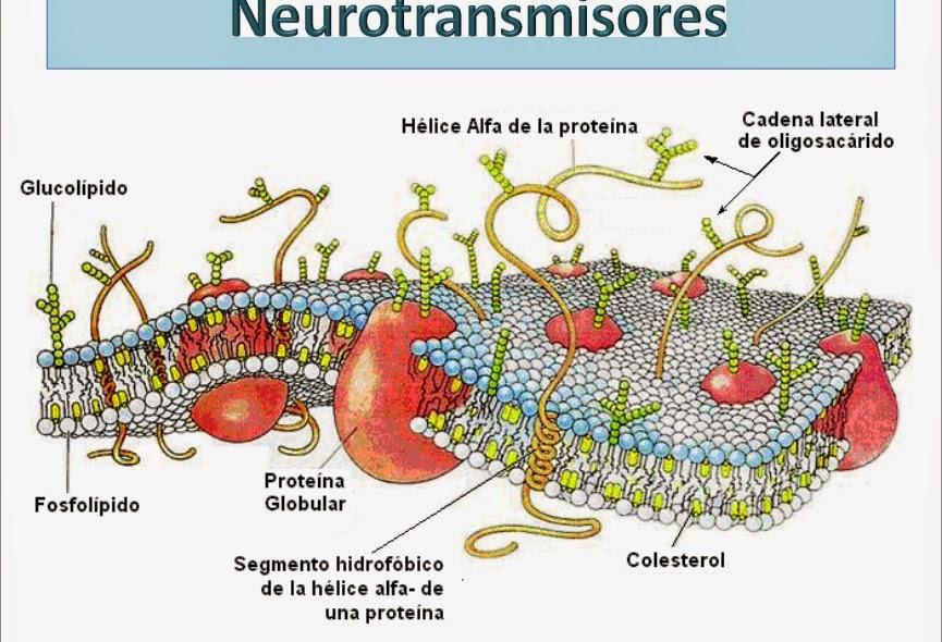 ver-Sistema Nervioso Central-33