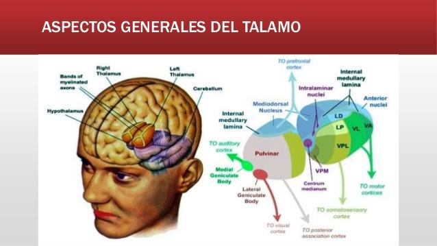 ver-Sistema Nervioso Central-40