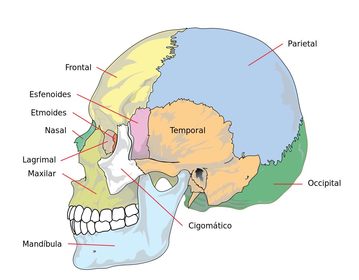 ver-Sistema Nervioso Central-44