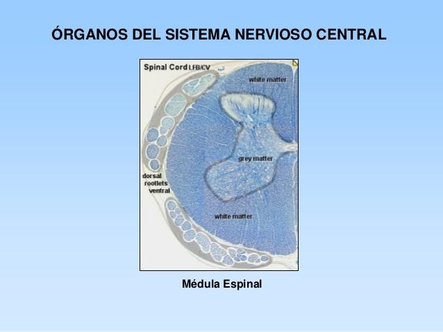 ver-Sistema Nervioso Central-49