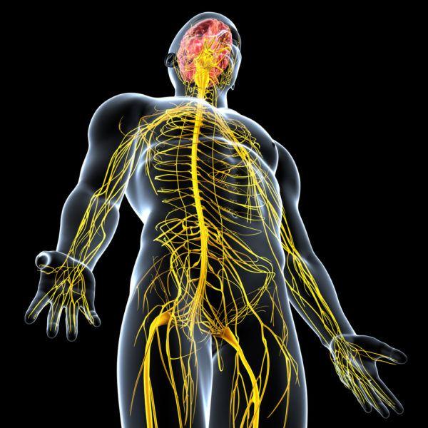 ver-Sistema Nervioso Central-54