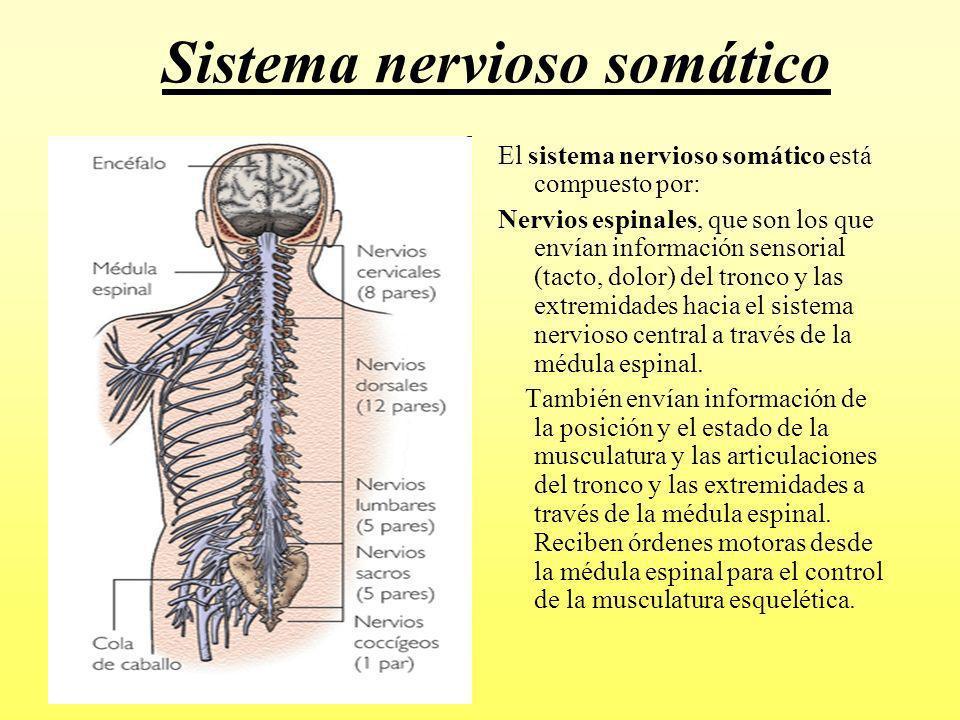 ver-Sistema Nervioso Central-61