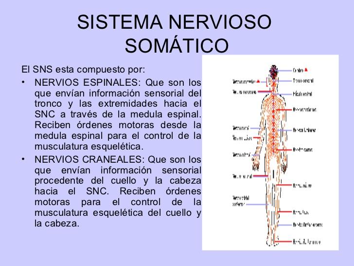 ver-Sistema Nervioso Central-62