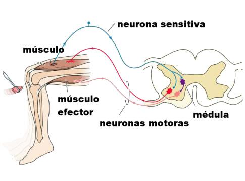 ver-Sistema Nervioso Central-63