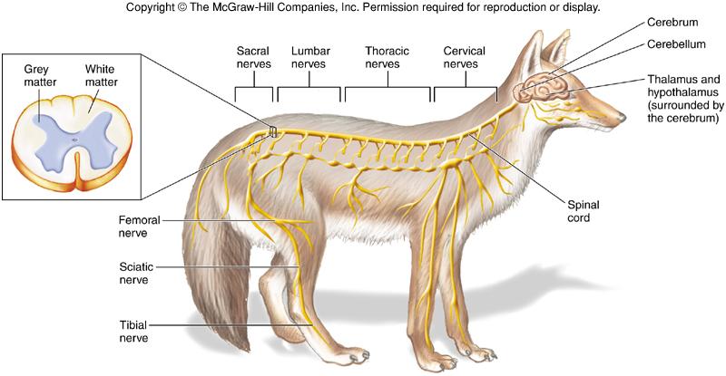 ver-Sistema Nervioso Central-65