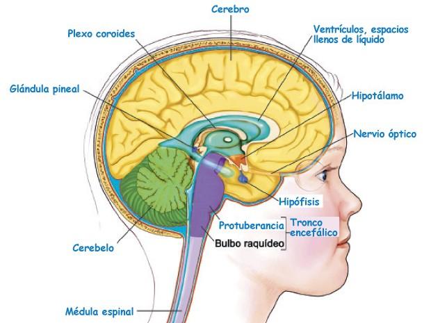 ver-Sistema Nervioso Central-70