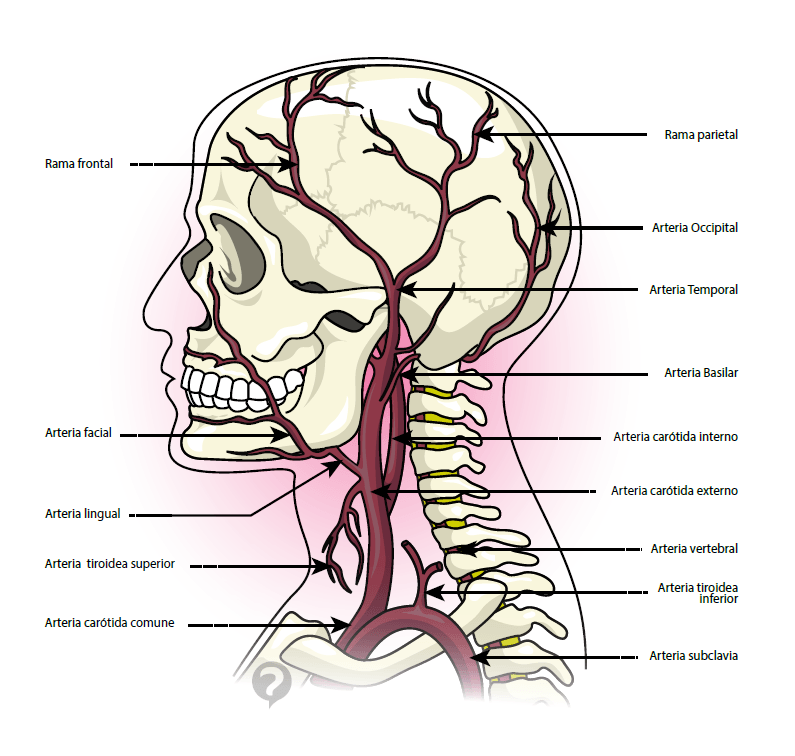 Arterias: ¿Qué son? Función, anatomía, fisiología, tipos y mucho más