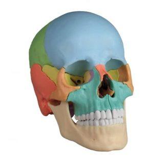 Conoce todo sobre la articulación del cráneo y su importancia