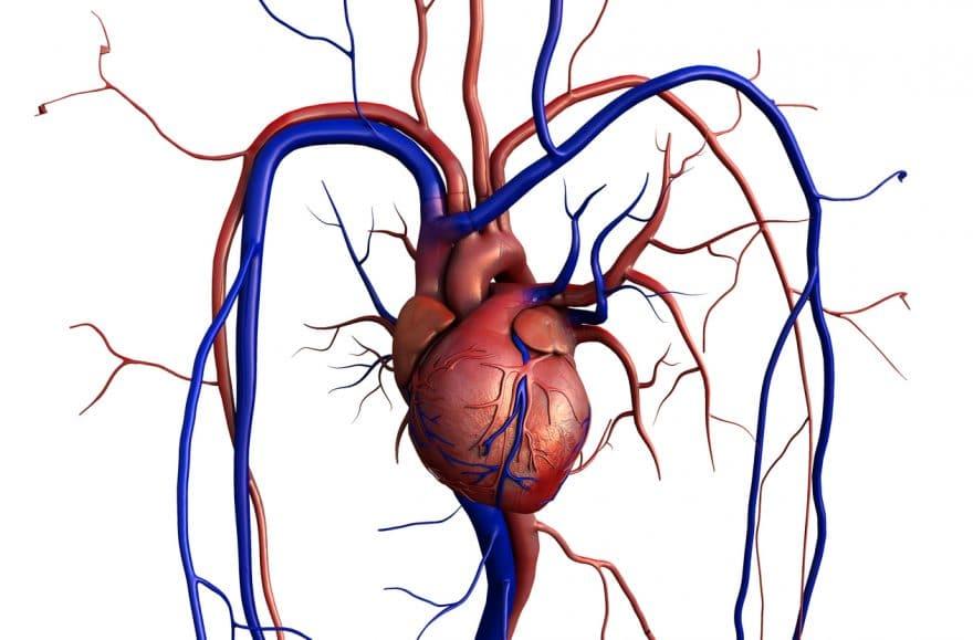 Aurícula izquierda: definición, anatomía, función, hipertrofia y más