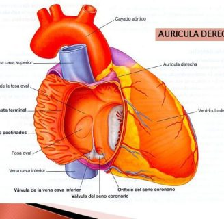 Aurícula derecha: ¿qué es? Función, hipertrofia, presión y más