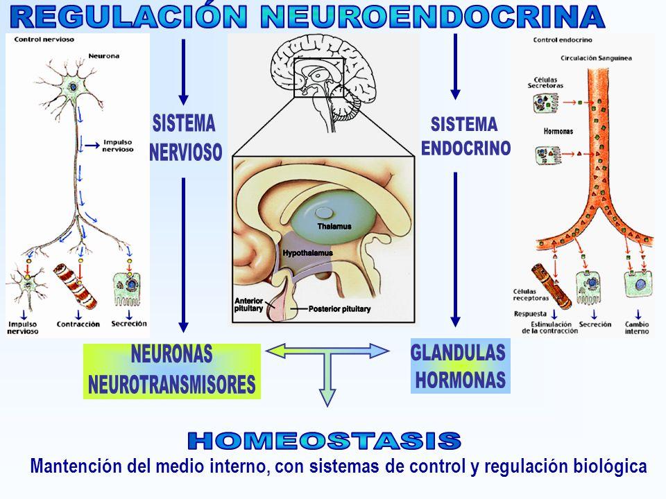 Glándulas endocrinas: ¿qué son? Fisiología, función, ubicación y ...