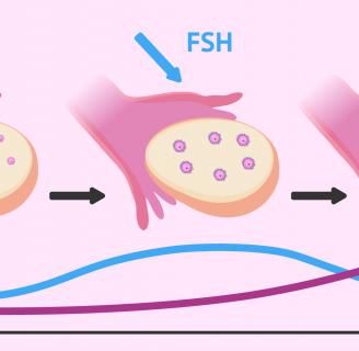 Conoce sobre las Hormonasfsh su función y más.