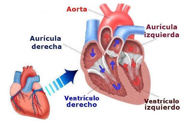 Partes del corazón: anatomía, funciones, aurículas ventrículos y más