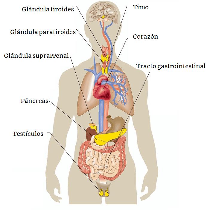 Sistema endocrino: ¿qué es? Anatomía, fisiología, función y mucho más