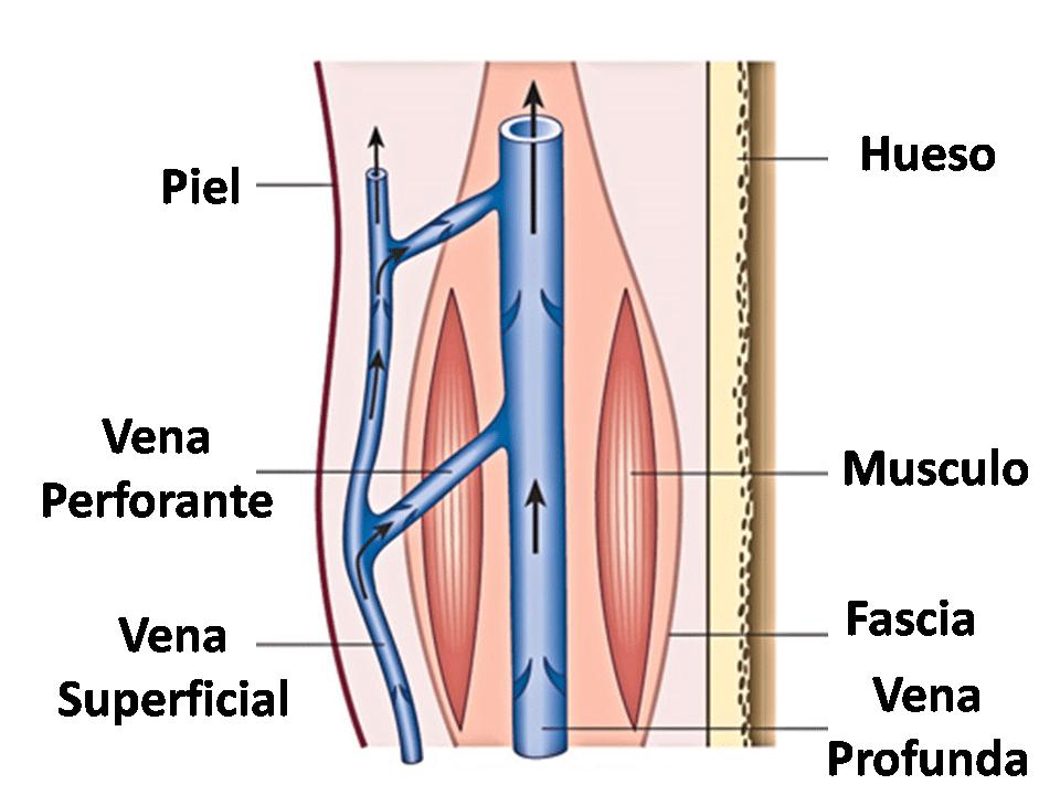 Vena femoral: anatomía, función, localización superficial y más