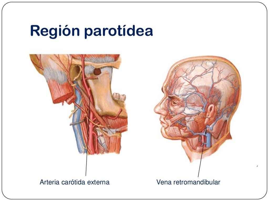 Vena yugular: anatomía, interna, externa, su presión y más
