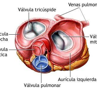 Válvulas cardíacas: ¿qué son? Anatomía, función, tipo, enfermedades y mucho más