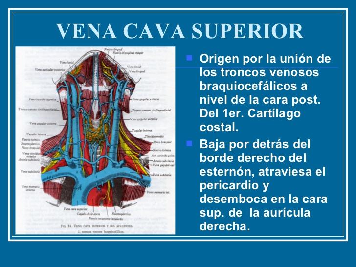 Vena cava: definición, anatomía, función, inferior y superior ...