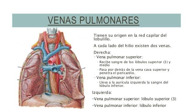Venas pulmonares: ¿qué son? Anatomía, función, ecocardiografía y más