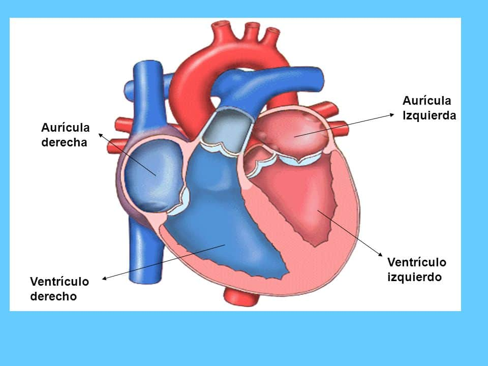 ventrículo derecho