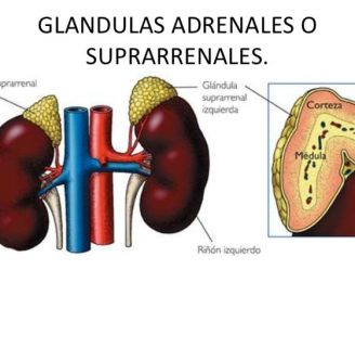 Glándulas suprarrenales: ¿qué son? Anatomía, función, fisiología y mucho más