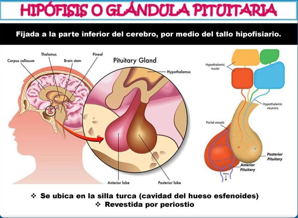 Hipófisis: ¿Qué es? Anatomía, función, fisiología, ubicación y mucho más
