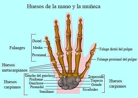 Los Huesos: ¿Qué son? Anatomía, funciones, tipos, características y ...