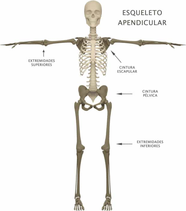 Esqueleto axial: definición, anatomía, función, partes y más